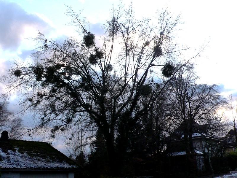 Mistletoe in a tree