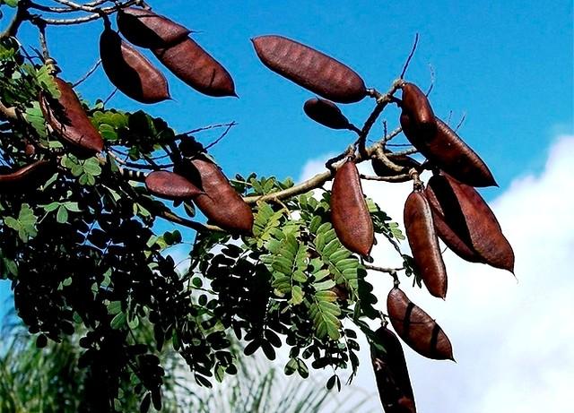 Pesquisadores dizem que casca de jucá age contra o envelhecimento, jucá, nativo da Amazonia