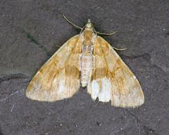 70.077 Pine Carpet - Pennithera firmata