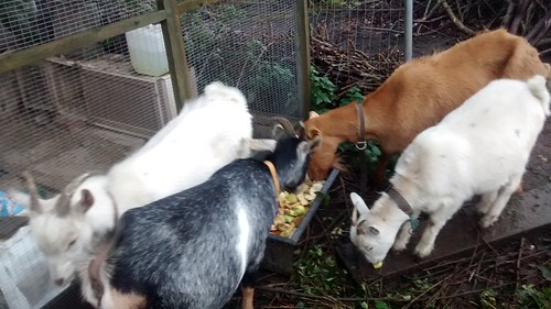 goats eating apples Oct 16 (1)
