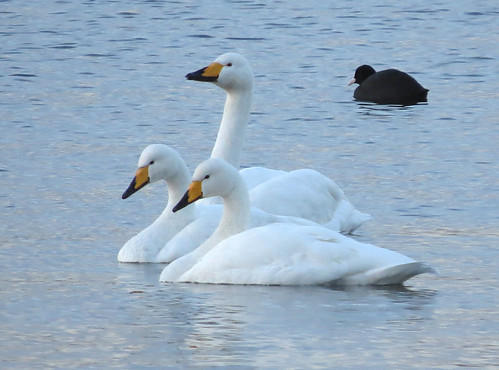 Whooper Swan Cygnus cygnus Tophill Low NR, East Yorkshire November 2016