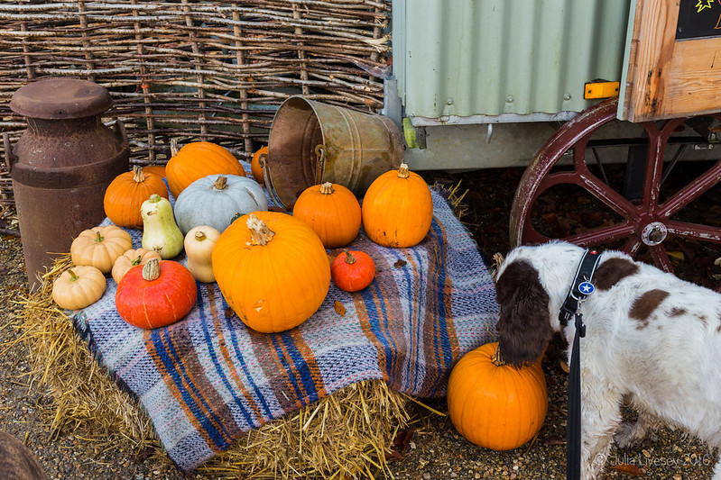 Max examines the pumpkins