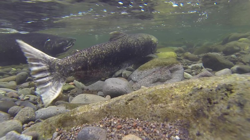 Spring chinook spawning on the Salmon River