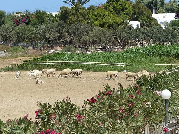moutons à Prokopios