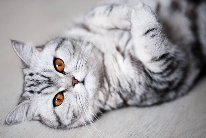 Шотландская мраморная кошка - ПоЗиТиФфЧиК - сайт позитивного настроения!