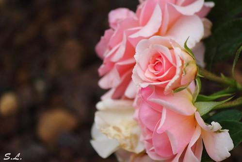 """""""Si Zeus voulait donner une reine aux fleurs, la rose régnerait sur toutes. """""""