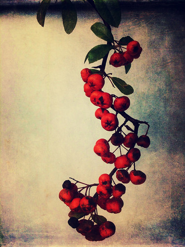 A Pyracantha (Fire Thorn) bonsai run through the photo app Stackables