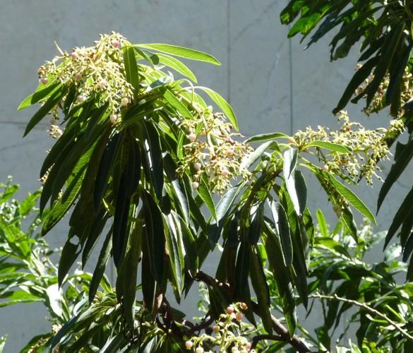 Arbutus canariensis 30137746422_d315e32645_o