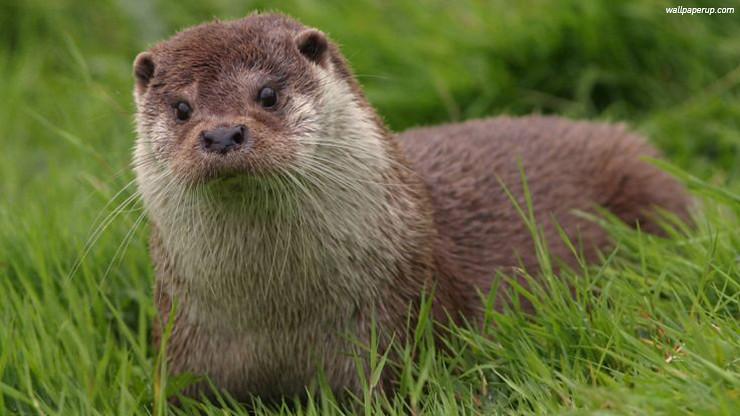 นากจมูกขน หรือ นากใหญ่หัวปลาดุก (อังกฤษ: Hairy-nosed otter; ชื่อวิทยาศาสตร์: Lutra sumatrana)
