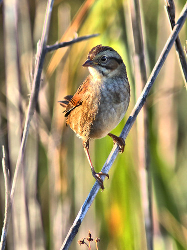 Swamp Sparrow HDR 03-20161122