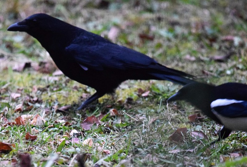 Crows 03.12 (4)