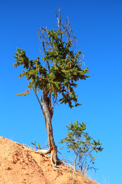 IMG_5173 Bristlecone Pine on Fairyland Trail, Bryce Canyon National Park