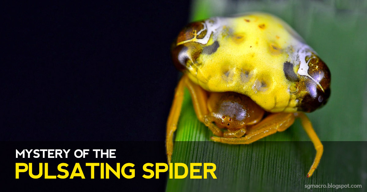 Mystery of the Pulsating Spider