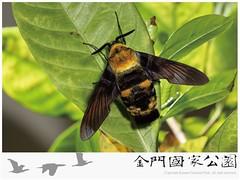 木蜂天蛾-01