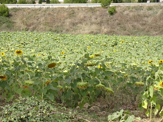 Tired Sunflowers