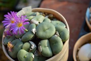 DSC_4430 Conophytum gratum コノフィツム 雨月