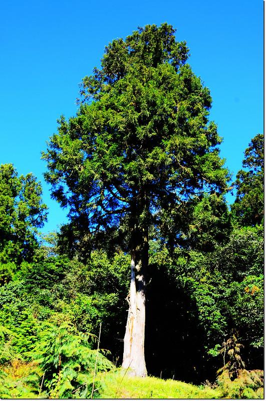 卡拉寶下農場杉林 1