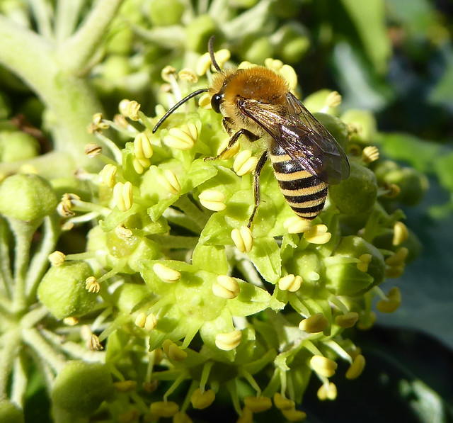 Male ivy bee