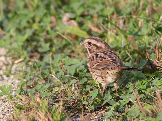 Savannah Sparrow 20161007