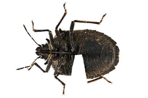 オオクロカメムシ Scotinophara horvathi Distant, 1883-2-2