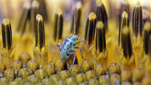 Miridae bug, nymph - Pantilius tunicatus