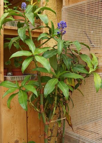 Dichorisandra thyrsiflora - gingembre bleu 30816116790_5005719892