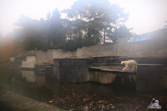 Eisbär Fiete im Zoo Rostock 05.11.2016 113