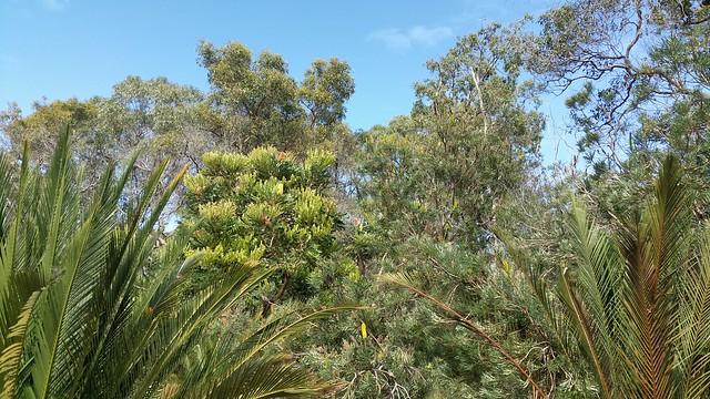 zamia in bushland at Lake Gwelup