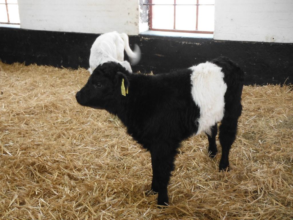 Calves 2