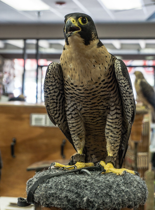 Captive Peregrine Falcon