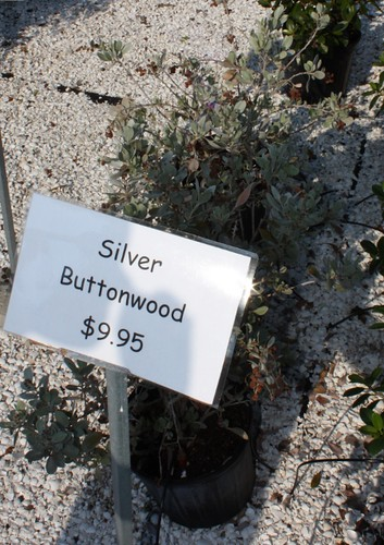 silver_buttonwood