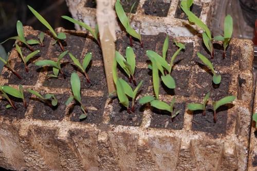 semillero sorgo