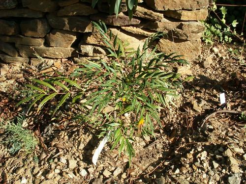 Mahonia eurybracteata 'Sweet Winter'-PICT6761