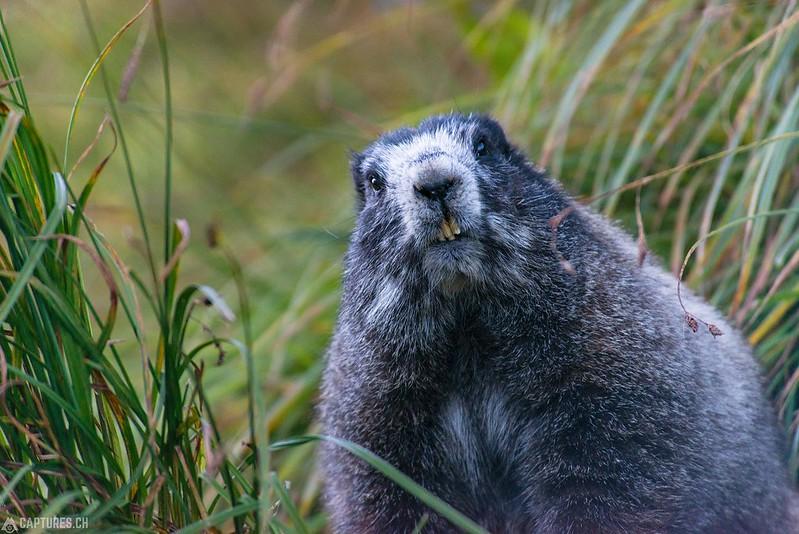 Hoary marmot 2 - North Cascades National Park