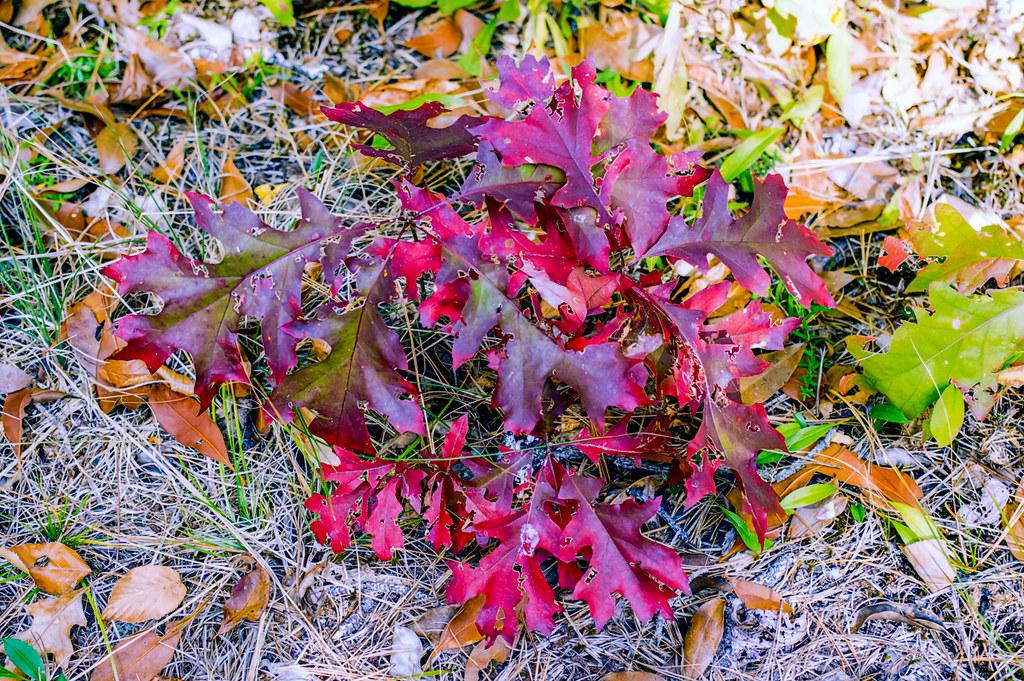 Little Red Oak