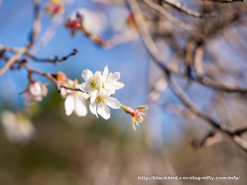 Winter cherry #01