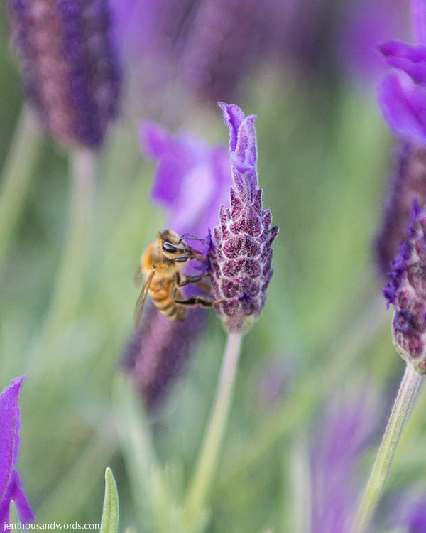 Bees enjoying lavender 05