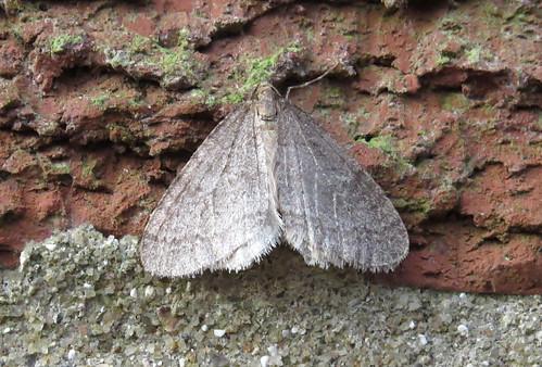 Winter Moth Operophtera brumata  Tophill Low NR, East Yorkshire December 2016