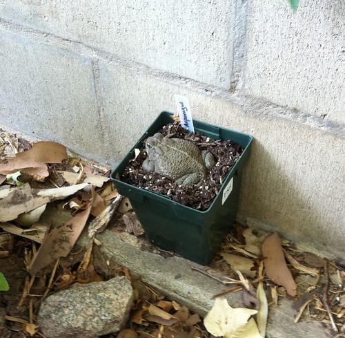 garden_toad