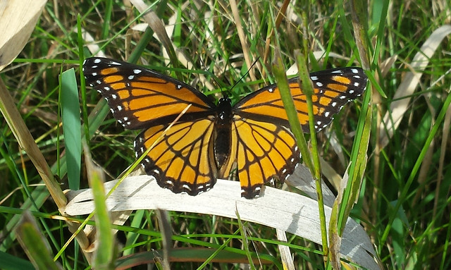 viceroy butterfly with its wings unfolded, viewed from above