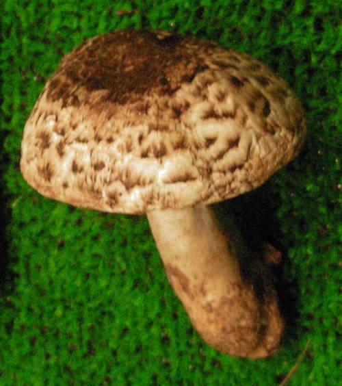 Agaricus subperonatus 30721934742_cc2958da1d_o