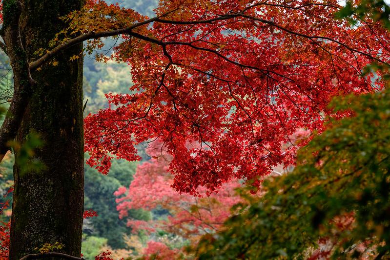 Autumn leaves scenery in Japan