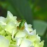 カエル天国(Frog & Hydrangea)