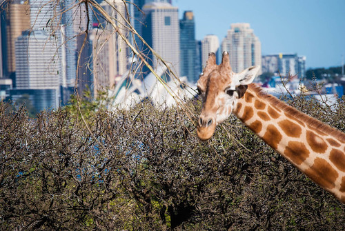 The Giraffes always get a view of the Harbour