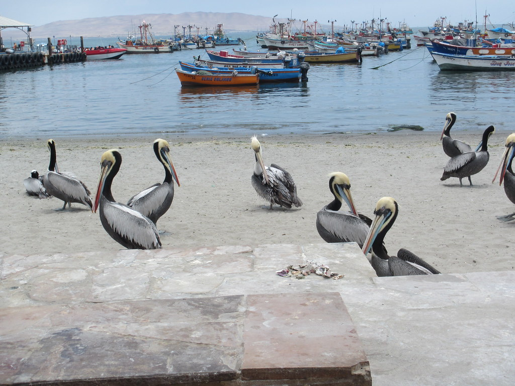 Pelicans Everywhere!