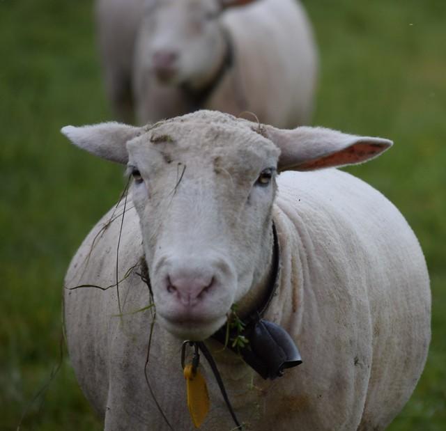 Sheep 20.10 (8)