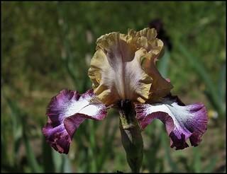 Iris Hindu Magic (5)