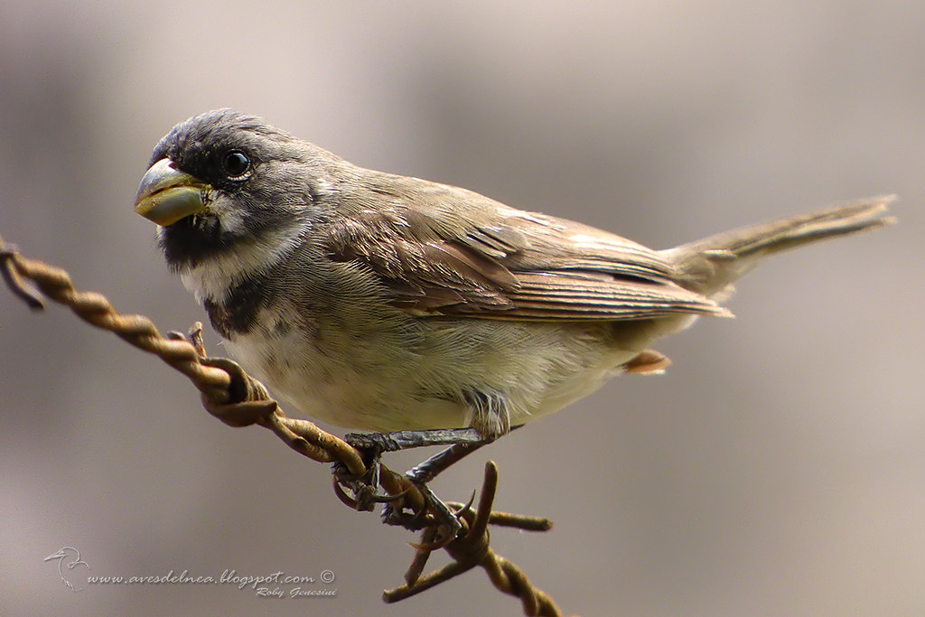 Corbatita común (Double-collared Seedeater) Sporophila caerulescens