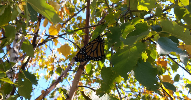 monarch hanging from a leaf of a birch tree, viewed from the right side
