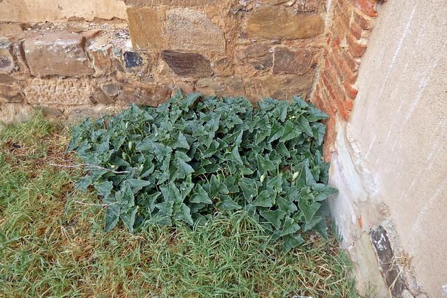 cohombrillo amargo,  pepinillo del diablo o elaterio  (Ecballium elaterium) 1